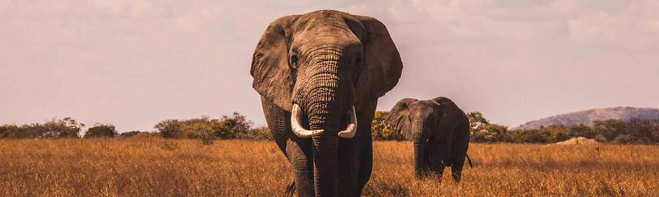 Les éléphants et leur sommeil au profit des humains
