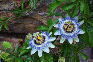 Passiflore - 10 plantes pour mieux dormir